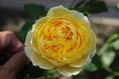 今日のバラ ② 1017