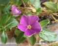 再生中の花💐ゼラニウムと日々草