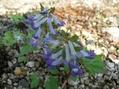 エゾエンゴサクが咲きました