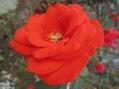 春の薔薇と秋の薔薇どちらがお好き!!⑪