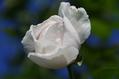 今日のバラ ①  1018