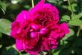 今日のバラ ② 1018