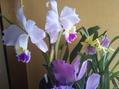 ミルトニア 利休 若紫