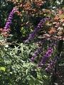autumn  violet