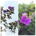 菜園の紫蘇を抜き土作り❗
