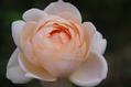 今日のバラ ①   1019