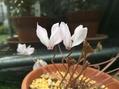 原種シクラメン ミラビレの花