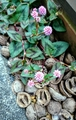 ポリゴナムが咲いています