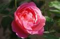 朝露に濡れた薔薇 ④ 1020