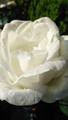 香りの秋薔薇~✨
