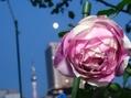 今年の秋バラはバラ咲きの一年草
