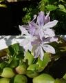 ホテイアオイの花と黄葉