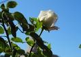 晴れた空、バラ3種