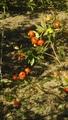 花菜ガーデンの薔薇🌹