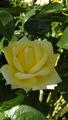 花菜ガーデンの薔薇🌹🌫️その2