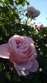 花菜ガーデンの薔薇🌫️その3