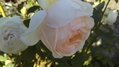 花菜ガーデンの薔薇🌹🌫️その4