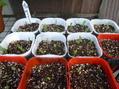 豆類の発芽