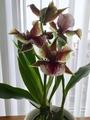 3蝶咲きのライン・ムーンライト開花