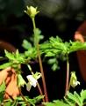 スミレの花が咲いている
