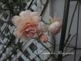 今日のバラ様