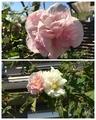 眩しい光の中で✨薔薇・酔芙蓉・秋桜