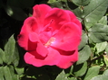 春の薔薇と秋の薔薇どちらがお好き!!15