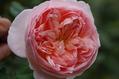 今日のバラ ①  1023