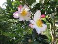 サザンカの開花