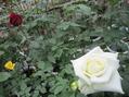 今日の薔薇たちの様子!!⑨