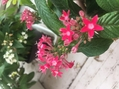 星の花 ペンタス