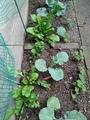 菜園(スティックセニョール、ブロッコリー、ルッコラ)の様子❗