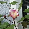 棉の花がまだ咲いてます~