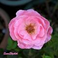 我が家の薔薇:クイーン・エリザベス