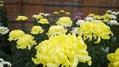 菊花展の準備