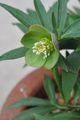 クリスマスローズの原種(H.セルビックス)