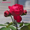今日の薔薇:ルージュ・ピエール