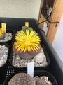 リトープスの花こ