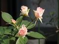 やっと秋の薔薇とアジサイ?咲いてますーー。