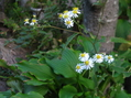 イナカギクが咲きました