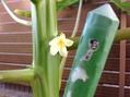 10.30 パパイヤの花開花。