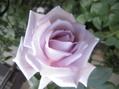 春の薔薇と秋の薔薇どちらがお好き!!21