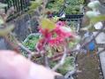 咲いています。トキワマンサク