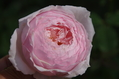 今日のバラ ④ 1031