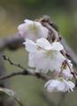 10月桜(^^♪