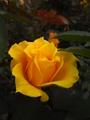 塩害に負けず、見事な薔薇!