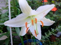 アザリアの開花