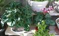 サフィニア 3番花