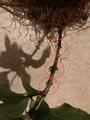 挿し木のアラベラ