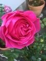 秋薔薇イヴピアジェ